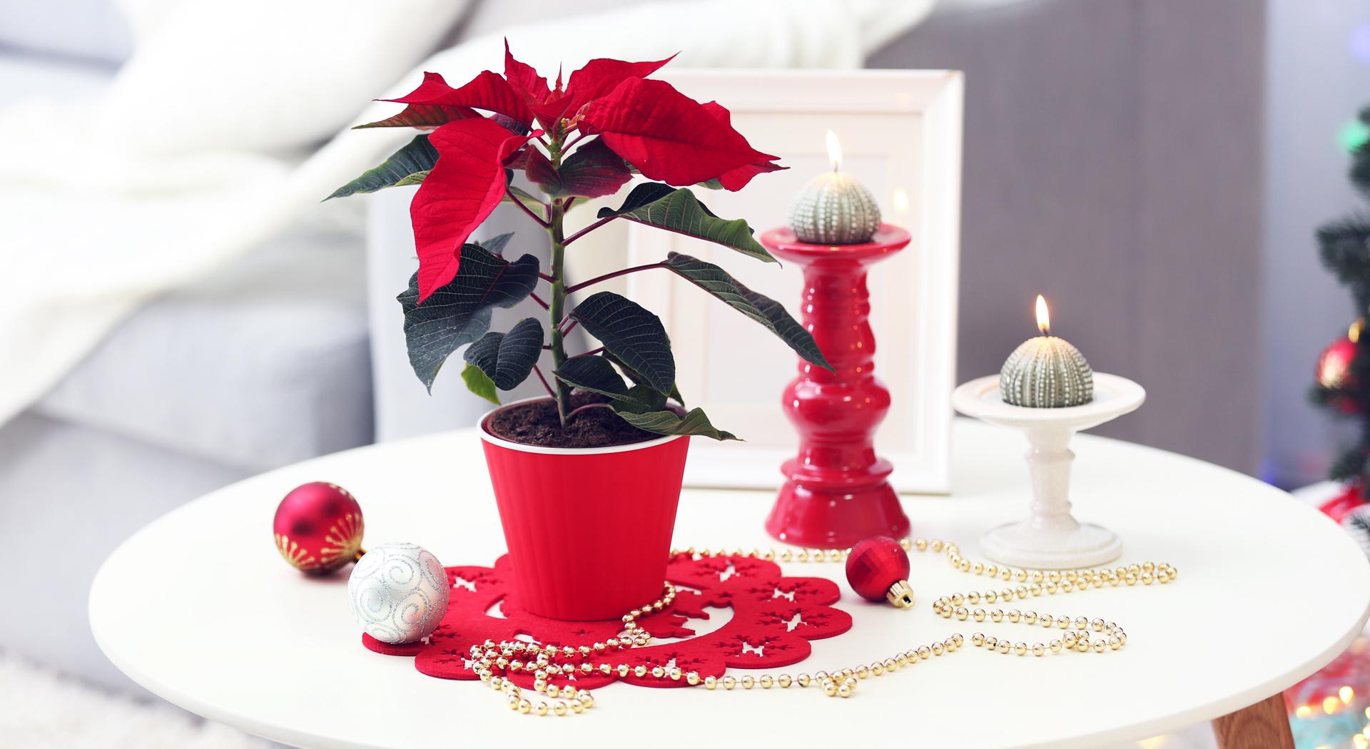 Der Weihnachtsstern